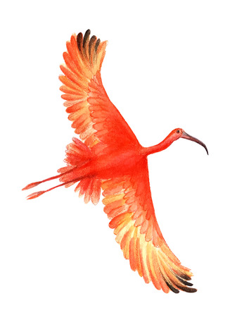 Ibis bird on the white background.  Watercolor illustration. Illustration
