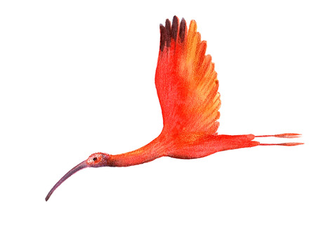 wader: Ibis bird on the white background. Watercolor illustration.