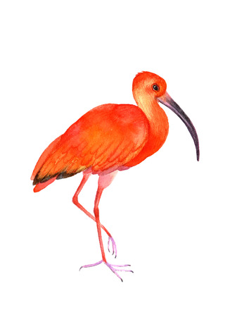 Ibis bird on the white background.  Watercolor illustration. Illustration