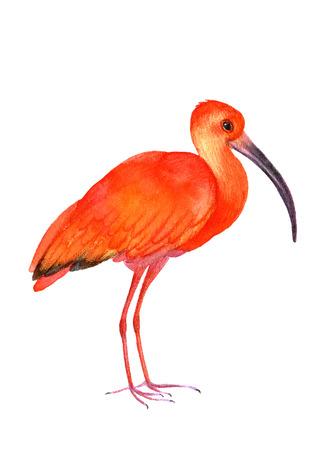 primaries: Ibis bird on the white background.  Watercolor illustration. Illustration