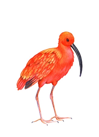 primaries: Ibis bird on the white background.  Watercolor illustration. Illustration