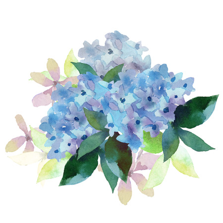 Watercolor style vector illustration of Hydrangea. Vector blue summer flowers isolated on a white background.