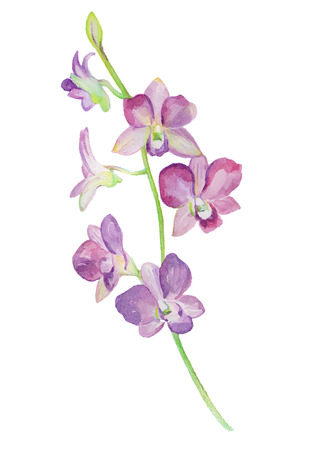 primrose: Watercolor illustrations of orchid flower isolated on white background. Background for your design and decor.