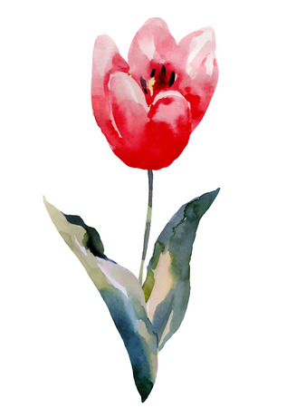 tulips isolated on white background: Tulips flower, watercolor illustration isolated on white background Illustration