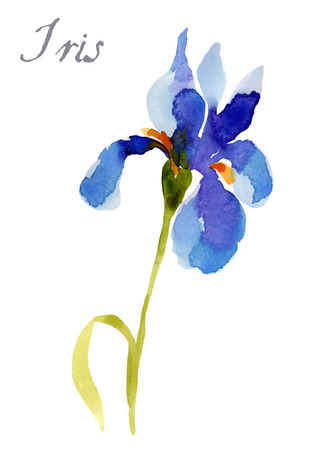 long stem: Iris flower, watercolor illustration isolated on white background