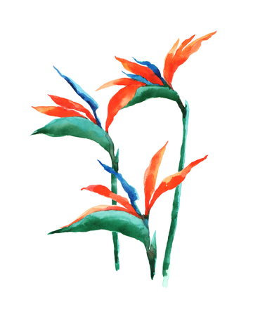 Watercolor illustration of a exotic flower on a white background. Background for your design and decor. Standard-Bild