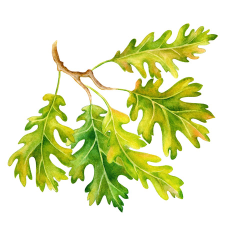 Watercolor  leaves, branches and acorns. Hand drawn illustration Standard-Bild