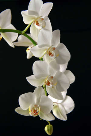 Orchid white on a black background photo