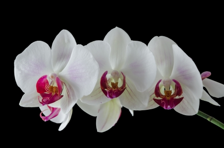 Orchid on a black background photo