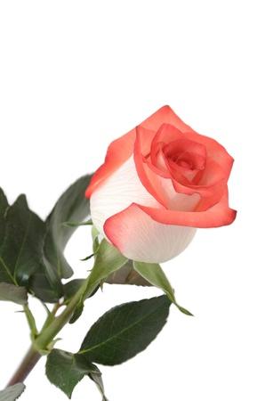 Rose isolated on white background. Stock Photo - 17157916