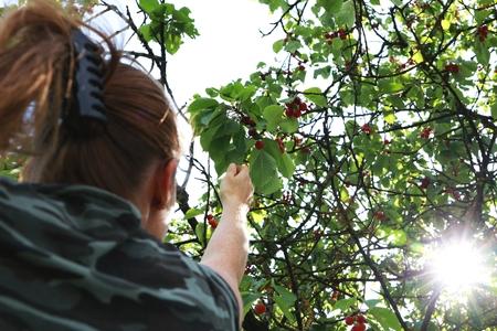young women gathering cherries