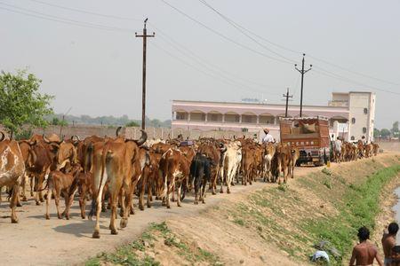 India vacas sagradas  Foto de archivo