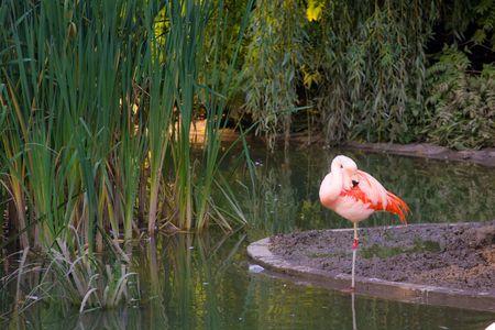 flamingos Stock Photo - 3684477