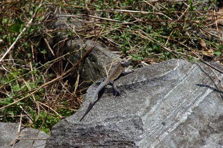 iguana lizard Stock Photo - 5115142