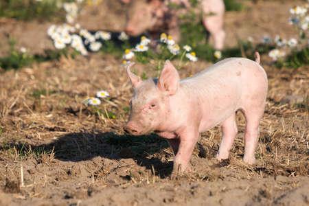 Happy piglets in free range