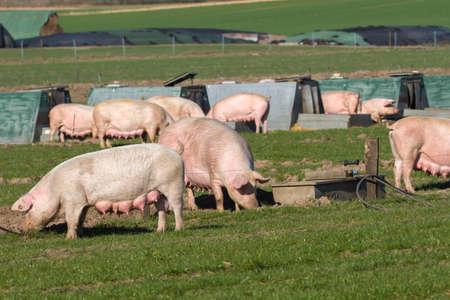 Group of female pigs in free range