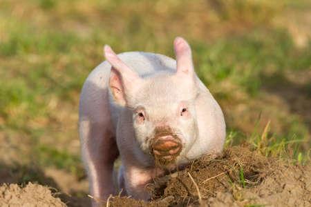 Burrowing happy piglet with sandy snout Banco de Imagens