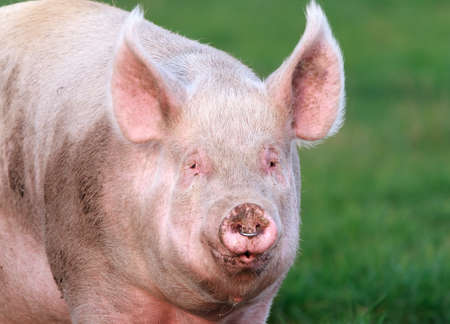 Breeding sow with a nose ring Banco de Imagens