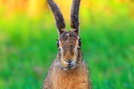 Funny frontal portrait of a wild hare