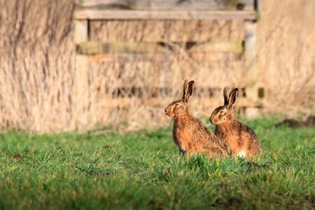 Two field hares sit comfortably in front of a raised hide