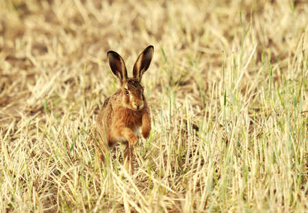 Cute field hare hops through a stubble field towards the camera
