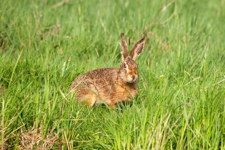 European hare looking sketchily out of a meadow with high lush grass
