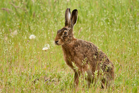 A stately old hare sitting on a flowery meadow