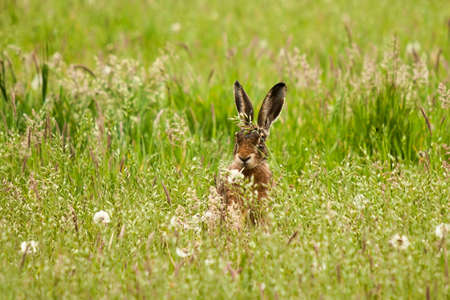 Cute bunny sits in meadow and chews blades of grass