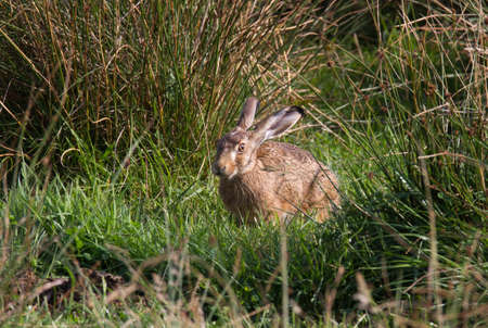 Young hare in wet meadow with high rushes