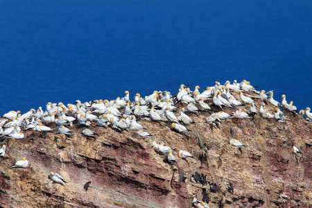 Large colony of gannets with young birds and guillemots on the rocks off the North Sea 版權商用圖片