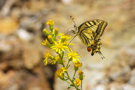 Swallowtail on yellow flowers in Spain