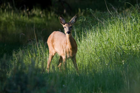 Female deer in a clearing