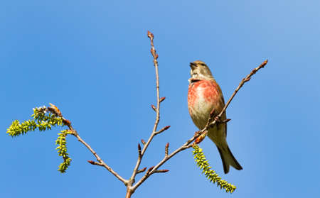 Linnet sings in blooming willow in front of a blue sky Stock Photo
