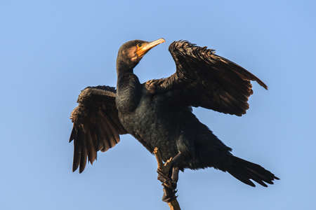 Cormorant with spread wings on top of branch