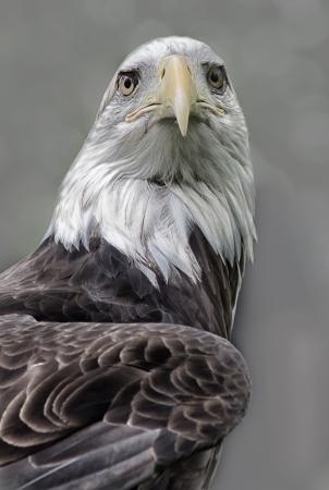 vigil: An American Bald Eagle stands vigil. Stock Photo