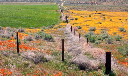 Spring Poppies in Antelope Valley, California