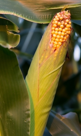 invaded: Bird Feeding Damage to Corn Stock Photo