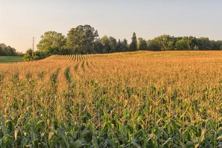 Un campo de maíz brilla en el sol de la tarde Foto de archivo - 14783286