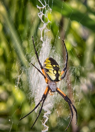 Black and Yellow garden spider, known formally as Argiope aurantia