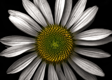 A white daisy speaks of balance and symmetry.