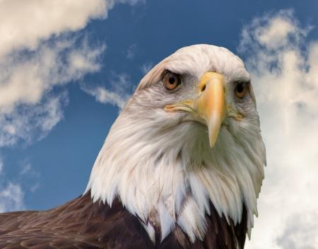 vigilant: An American Bald Eagle stands vigilant over the land