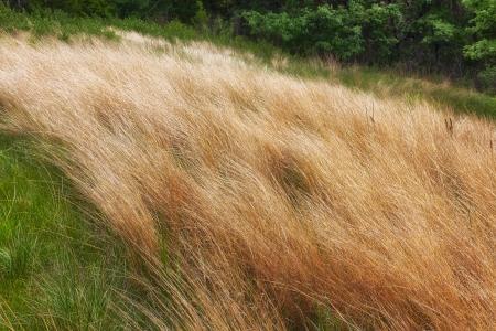 Uncultivated  Minnesota native grassland