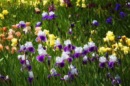 A field of purple, white, yellow, blue and Iris photo