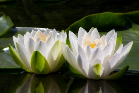 Two Water Lilly Flowers open to the sun Imagens