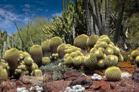 A desert garden of stunning cacti with cobalt blue sky  photo