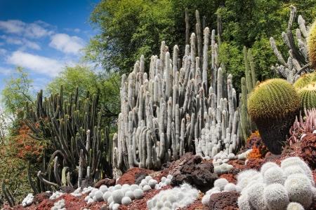 san marino: A desert garden of stunning cacti with cobalt blue sky