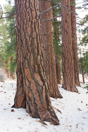 A stand of mature Coulter Pine in Mount San Jacinto State Park  photo