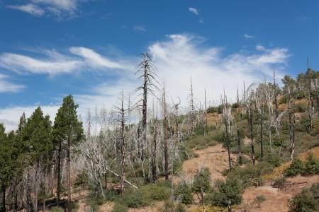 bernardino: Forest Fire Damage in the San Bernardino National Forest