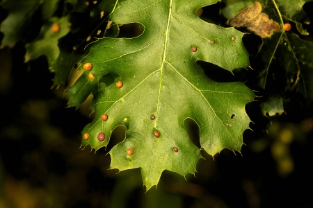 bumps: Bumps on Maple Leaves are Usually Harmless