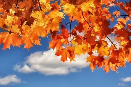 Turning Maple Leaves in Autumn with Blue Sky Background Imagens